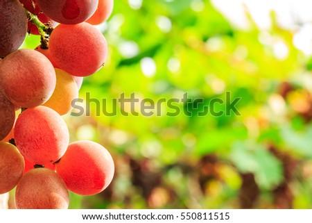 Vineyard ripe grapes in autumn harvest season #550811515
