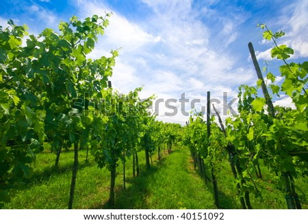 Vineyard rows in spring with blue sky - stock photo