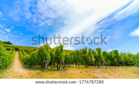 Vineyard's scenic panorama, plantation of growing grape-bearing vines. Winemaking concept, table grapes, grape juice. Tourism and agritourism Photo stock ©