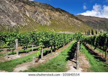 Vineyard, South Island, New Zealand.