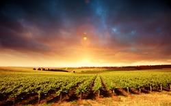 Vineyard Sunset in South Australia