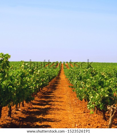 vineyard under the sun near the vintage time in Extremadura, Spain