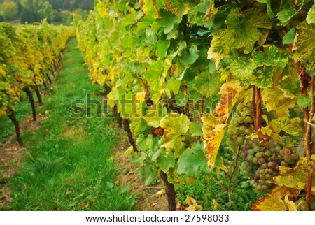 Vineyard Valley with Ripe Grape Crop