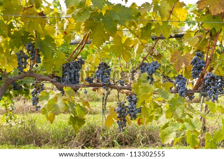 Vineyard, wine grapes hanging