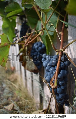 vineyard with grapes ready for harvest Сток-фото ©