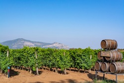 Vineyard with growing red or rose wine grapes in Lazio, Italy, Sirah, Petit Verdot, Cabernet Sauvignon grapes