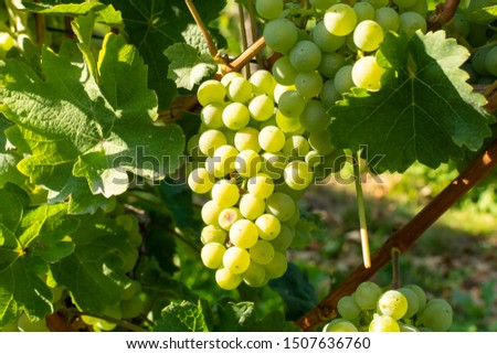 Vineyard with growing white wine grapes, riesling or chardonnay grapevines in summer #1507636760
