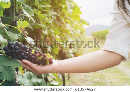 Vineyard worker checking grapes quality in vineyard.