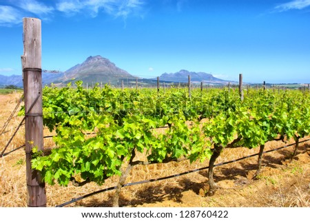 Vineyards and misty mountains. Shot in Western Cape, South Africa.