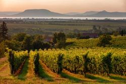 Vineyards and the Badacsony mountain with Lake Balaton at sunset in Hungary