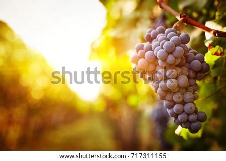 Vineyards at sunset in autumn harvest #717311155