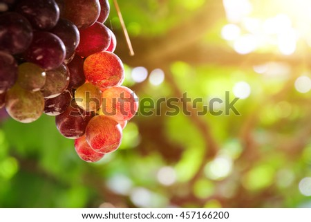 Vineyards at sunset in autumn harvest. Ripe grapes in thailand #457166200