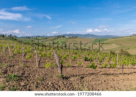 Vineyards for the production of Chianti wine in the province of Florence, Italy, in the area of Cerreto Guidi and Vinci Zdjęcia stock ©