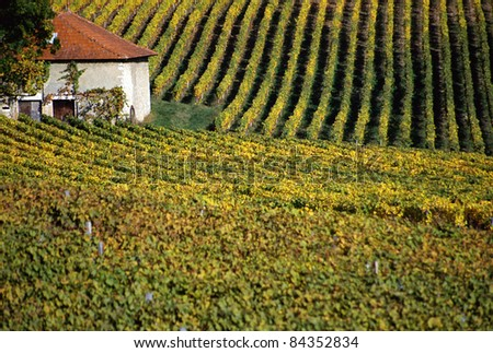 Vineyards in autumn and red roof house in the heart of the yellow vineyard.  Myans, France.
