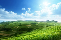 vineyards in Piedmont, Italy