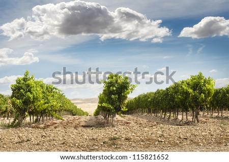 Vineyards in rows and blue sky.