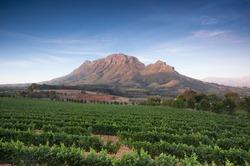 Vineyards in Stellenbosch, Western Cape, South Africa. Simonsberg mountain range as a backdrop.