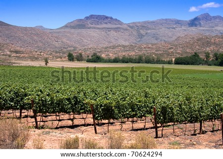 vineyards in the cederberg mountains of south africa grown to make wine