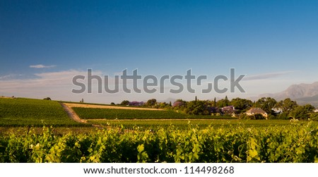 Vineyards in the wine area in South Africa