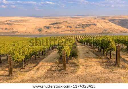 Vineyards landscape in the Columbia River Gorge Washington state. #1174323415