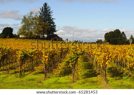 Vineyards near Sebastopol, California.