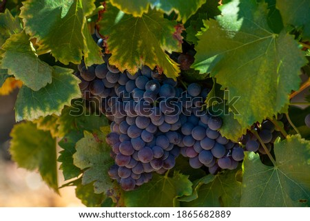 Vineyards of AOC Luberon mountains near Apt with old grapes trunks growing on red clay soil, Vaucluse, Provence, France Foto stock ©
