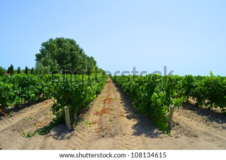 Vineyards of southern France.