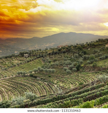 Vineyards of the River Douro region in Portugal. Viticulture in the Portuguese village. Gorgeous misty sunrise over beautiful green vines #1131310463