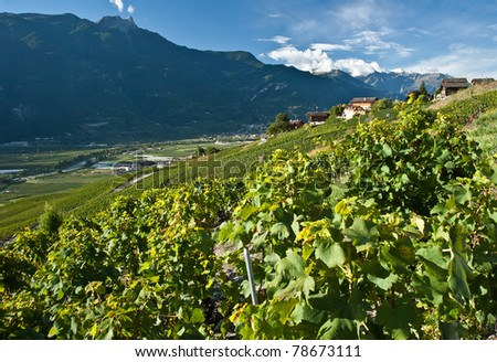 vineyards on sunny day in summer, ovronnaz range, swiss