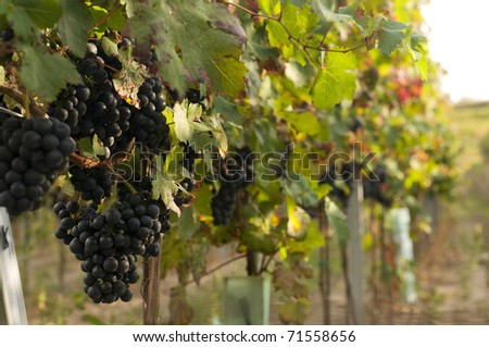 Vineyards on the Low Carpathian region in harvest time