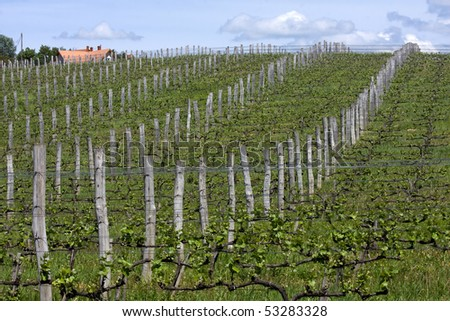 Vineyards on the mountain ,are a lot of work