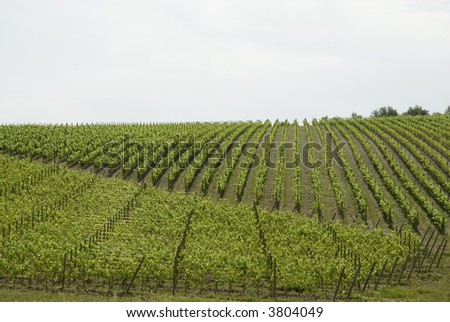 vineyards placed straight in a row