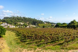 Vineyards prepared for the collection of grapes. Rows of red vineyards growing in the agricultural lands. Red grapes in the vineyard. Minho Region is the biggest wine producing region in Portugal.