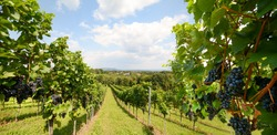 Vineyards with grapevine for wine production near a winery along styrian wine road, Austria Europe