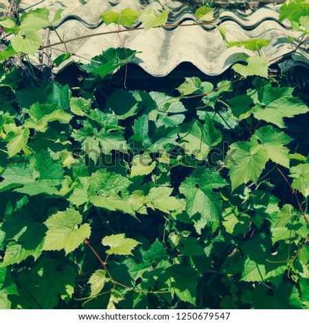 Vineyards with with large green leaves twine and entwine the external briks wall and roof of the living house