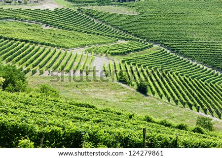 vineyars near Barbaresco, Piedmont, Italy
