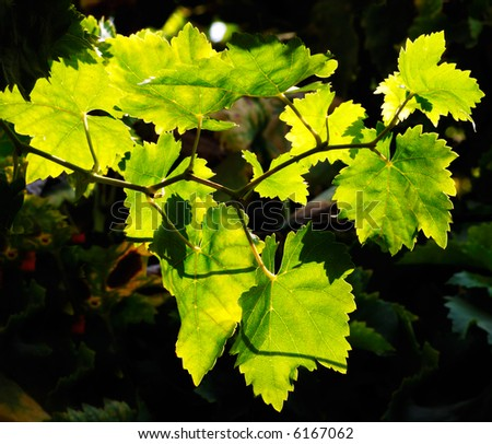 vineyrad leaves