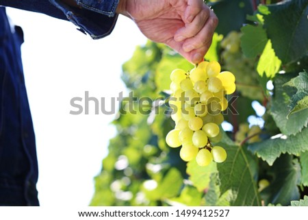 Vintage, a man gathers ripe bunches of grapes.