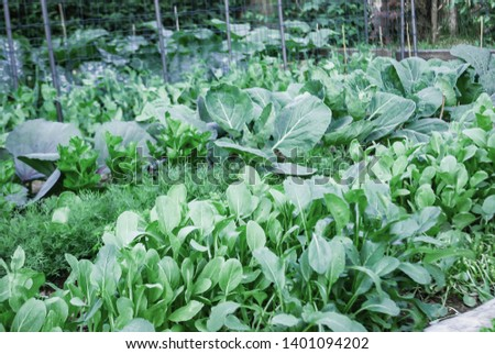 Vintage background mix fresh salade with cabbage, drill, persil  in  garden nature,  Enviroment garden organic in summer season.