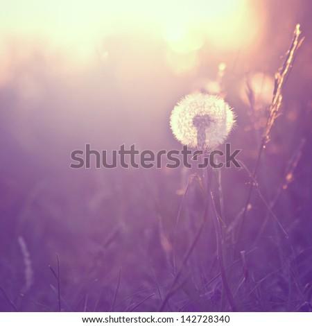 Vintage background with dandelion at sunrise