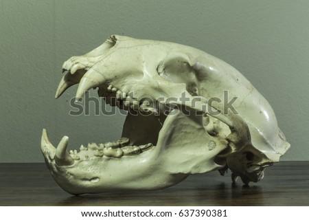vintage bear skull