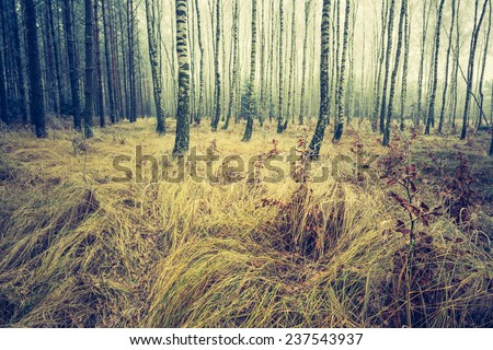 vintage birch forest landscape