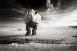 Vintage, black and white, artistic photo of black rhinoceros, Diceros bicornis, looking directly at camera, standing abandoned in   desert of Etosha pan, Namibia. Dramatic animal scene. Poster design.