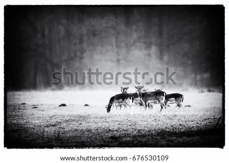 Vintage black and white photo of group of fallow deer in misty meadow.