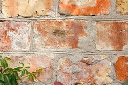 Vintage brick wall with natural floral frame. Wild grape on the wall of an old building. Texture, pattern, background, autumn. Golden autumn. Wild grapes on old brick wall as background.