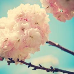 Vintage Cherry Blossoms