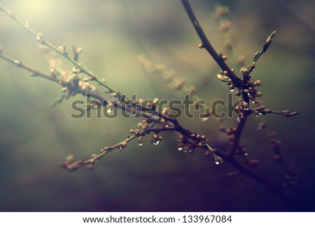 Vintage cherry tree and water drops. Antique style photo of cherry tree bud.