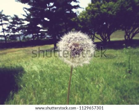 vintage close up of a dandelion ...