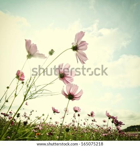 Vintage cosmos flowers #165075218