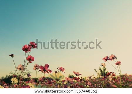 Vintage cosmos flowers with blue sky